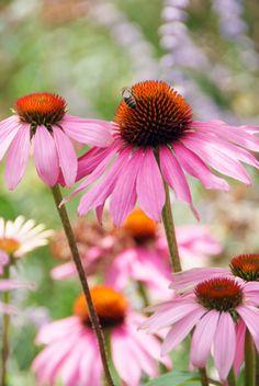 The top 10 of the perennials picking flowers, Echinacea Purpurea Magnus, Bee Friendly Plants, Sensory Garden, Collor, Dream Garden, Pink, Purple, Garden Inspiration, Garden Plants