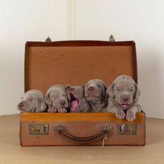 dog portraits by william wegman part2 15 Extra Baggage – Animal Photography by William Wegman