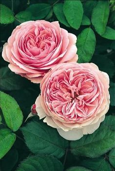 ~Rosa 'Geoff Hamilton' has perfect, antique pink blooms by ophelia