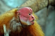 Uakari monkey. Amazon River basin. Live in large troops, small monkey 6-7lbs, short tails. Endangered..