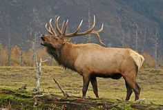 Love to hear elk bugling. This is a shot of a very nice 6 point royal bull elk. Elk Pictures, Hunting Pictures, Big Game Hunting, Elk Hunting, Elk Drawing, Elk Bugle, Alaska, Bull Elk, Wildlife Art