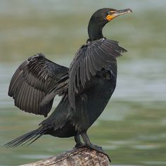 Double-crested Cormorant (Phalacrocorax auritus) in Toronto, Canada by Mdf on Wikimedia commons. by Birdwatching on fb