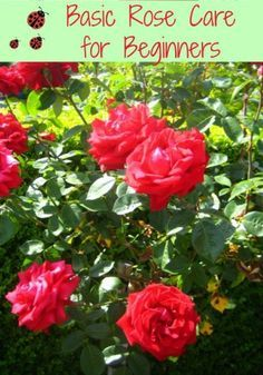 Basic Rose Care for Beginners How To Care For Roses -put a banana peel in the planting hole to add potassium to the soul