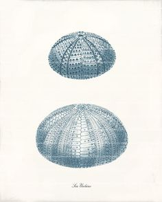 Antique Sea Urchin Art Print  8x10  Two Sea by 1001treasures, $12.00
