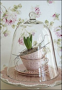 hyacinths under a cloche