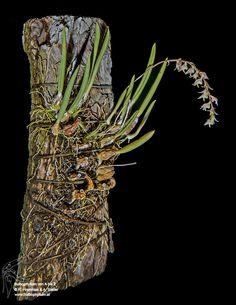 Bulbophyllum tricolor
