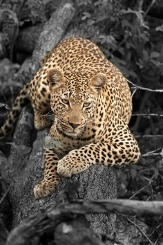 Leopards eat small hoofstock such as gazelle, impala, deer and wildebeast. On occasion, they may also hunt monkeys, rodents and birds. The Animals, Nature Animals, I Love Cats, Big Cats, Beautiful Cats, Animals Beautiful, Beautiful Females, Gato Grande, Ocelot