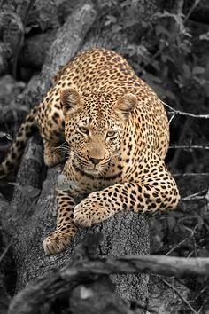 Africa | Female Leopard. (Makubela, daughter of Shangwa).  South Africa | ©Rudi Hulshof