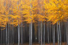 ***Poplar trees [tree farm] in fall (Oregon) by David Thompson