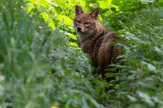 golden jackal, wilder Goldschakal, Canis aureus syriacus @ Yarkon Park in Tel-Aviv, Israel 2014 urban nature