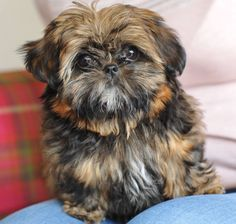 tiny-imperial-shih-tzu-female-pet-home-only-bournemouth.jpg (1280×1217)