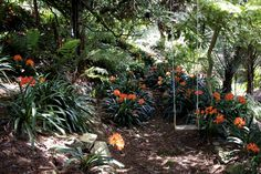Spring time is Clivia time under our 2 giant Rimu. — at Twining Valley Nurseries.