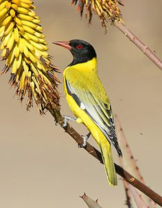 The Black-headed Oriole - Oriolus larvatus, is an African passerine. It breeds in much of Sub-Sarahan Africa.