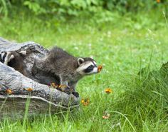 Little cute baby raccoon stopping to smell some wild flowers