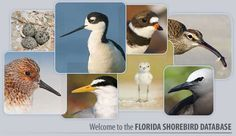 Florida Shorebird Database - includes excellent pdf guides on focal species; you can also register to help count shorebirds here