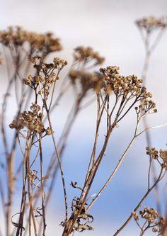 kuva Dandelion, Flowers, Plants, Dandelions, Plant, Taraxacum Officinale, Royal Icing Flowers, Flower, Florals