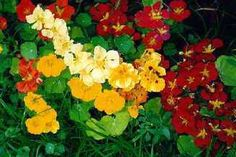 More Nasturtium Recipes Nasturtium and Potato Soup Ingredients: 2 tablespoons butter or margarine large sweet onion, finely chopped 2 medium potatoes, peeled and chopped nastur… Planting For Kids, Small Space Gardening, Edible Plants, Hanging Baskets, Growing Plants, Pretty Flowers, Garden Plants, Outdoor Gardens, Planting Flowers