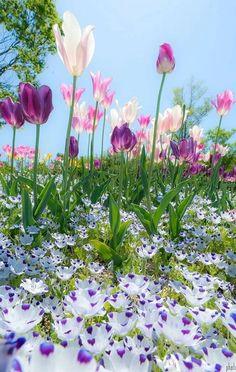 Tulipa sprengeri (Sprenger's tulip) is a wild tulip from the Pontic coast of Turkey Beautiful Nature Pictures, Beautiful Landscapes, Beautiful Gardens, Flowers Nature, Spring Flowers, Wild Flowers, Spring Pictures, Flower Pictures, Amazing Flowers