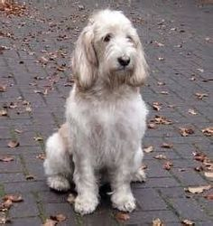 Grand Basset Griffon Vendeen Unusual Dog Breeds, Different Dogs, Adorable Dogs, Basset Hound, Wolves, Puppies, Pets, Friends, Animals