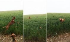 Dogs leap through field of tall grass in hilariously adorable video