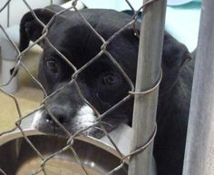 """LILY """"41153"""" - URGENT - THE ANIMAL SHELTER SOCIETY INC. in Zanesville, OH…"""