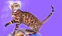 Patrick Kelley's BengalBreed.com: The best Bengal Cat Breeders / Bengal Cats and Kittens For Sale. Bengal Cat Breeder