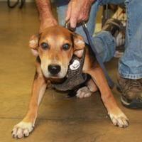 Cleveland Al American Staffordshire Terrier Meet 42544838 A Pet For Adoption American Staffordshire Terrier Staffordshire Terrier American Staffordshire