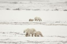 Polar Bears! On a recent trip to Hudson Bay, Northern Canada, we were very lucky to see 2 pairs of mom & cubs -polar bears at the same time. The mothers initially stopped and looked at each other, then continued on their separate ways when they realized there was no danger for their cubs. Photo by Michel Zoghzoghi -- National Geographic Your Shot