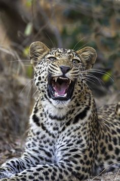 Leopard cub had just finished a yawn / by Rudi Hulshof