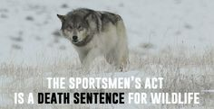Congress will vote in the next several days on a bill that   H.R. 3668, The Sportsmen's Heritage and Recreational Enhancement Act (SHARE Act), would:    delist gray wolves in the Great Lakes, paving the way for hunting and trapping seasons and prevent the courts from reviewing the action or the FWS from ever relisting these wolves;  subject endangered species around the country to increased risk of gruesome death caused by trapping;   and prohibit any regulation of toxic lead ammunition or…
