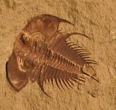 Oldest type of Trilobite and the 1st known creature to have image forming eyes.  Locality: Montevallo, Alabama USA