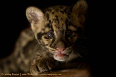 The second in this short series of three shots I captured of one of the two sister Clouded Leopard cubs born at Khao Kheow Open Zoo on 2nd March 2012.  New Website: www.ashley-vincent.com | Blog | Fine Art America | Facebook | Flickr