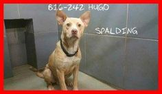9/13/16 SWEET HUGO – FIRST IN LINE FOR EUTHANASIA | VERY ADOPTABLE, adult, male, shelter dog ID: B16-242 | Spalding County Animal Shelter, 208 Justice Blvd Griffin, GA. Act quickly if you are interested in saving this dog. If you need help with pulling/transport/rescue HUGO, please email shelter volunteers at info@savinggeorgiadogs.org ♥ http://www.dogsindanger.com/dog/1470689392346