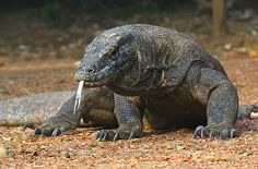 Komodo One Day Tour created for those who don't have much time to explore the islands of Komodo and we provide you one day tours to see komodo dragons and it's wildlife in one day tour with our local boat. This tour package will be runing well when you've been in Labuan Bajo. Detail Package available at URL: http://www.visitkomodotours.com/tour/one-day-tour-to-komodo-island