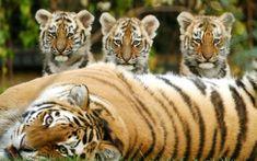 Tigers, tigers, tigers. My favorites