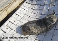 """Brianna at The Wildcat Sanctuary  """"Having never felt grass under their paws, this would be the bobcats' first opportunity.  It was a joyous moment when they were released into their habitat here at the Sanctuary.  They began acting like kittens, exploring their new areas, tossing their enrichment high into the air, batting it around and rolling in the grass and on the different scents.""""  Read more at: http://www.wildcatsanctuary.org/residents/small-cats/bobcats/brianna/"""