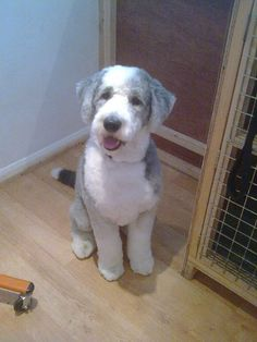 Bearded collie poodle cross