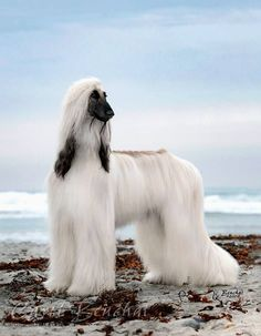 18 Elegant Afghan Hounds That Will Give You Some Serious Hair Envy
