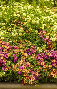 Berry Blend Lantana, in front, offers the sweet colors of summer with incredible heat tolerance with no effort required from you!