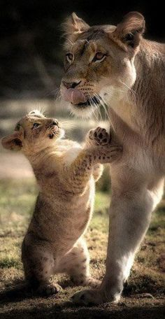 Lioness and cub #animals