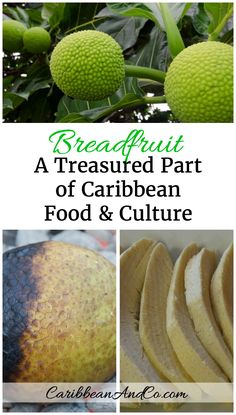 Discover why breadfruit is a treasured and beloved food in Caribbean culture and definitely should be tried by those who travel to the region.