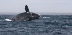 Save the Right Whale: Urge Fisheries Canada to Create Mandatory Standards to Prevent Entanglement