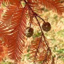 Metasequoia glyptostroboides - Google Search