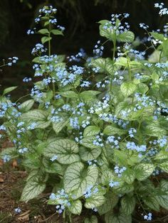 No 6). Brunnera 'Jack Frost'.  Heavily frosted and veined leaves. Blue flowers in spring