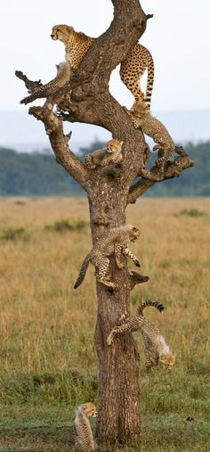 The cheetah led her brood up a tree for a better look at the beautiful surroundings. Mortality is high among cheetah babies, so unusual to see so many!
