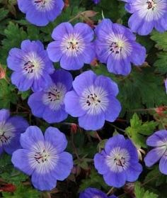 Geranium 'Rozanne' Great geranium with large violet-blue flowers that bloom pretty constantly from early summer to autumn. In border on LHS with ferns and possibly in a pot. Perennial Geranium, Perennial Plant, Summer Flowers, Blue Flowers, Summer Plants, Flowers Perennials, Planting Flowers, Shade Garden, Gardens