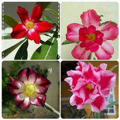 Meu jardim de rosas do deserto ♥
