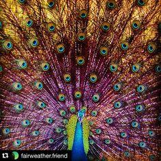 Magnificent Peacock Spreading its Feathered Tail Captured by @fairweather.friend Share your photographs with #stockphotolk Sign up on www.stockphoto.lk for free and convert your creativity into revenue! .  #peacock #safari #yala #nationalpark #yalanationalpark #srilanka #wildlife #srilankanwildlife #traveling #holiday #jeepsafari #bird #feathers #animal #exploresrilanka #travelgram #traveldiary #travelsrilanka #instalike #instagood #instapic #Instadaily #birdsofinstagram #safari #naturegram