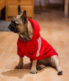 Bluza dla psa Adidog French Bulldog, Dogs, Internet, Animals, Natural, Elegance Fashion, Game, Animais, Animales