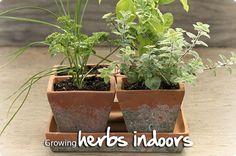 How to Grow Herbs Indoors #indoorgardening #herbs #plants #gardening